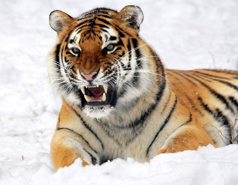 A tiger showing his fangs